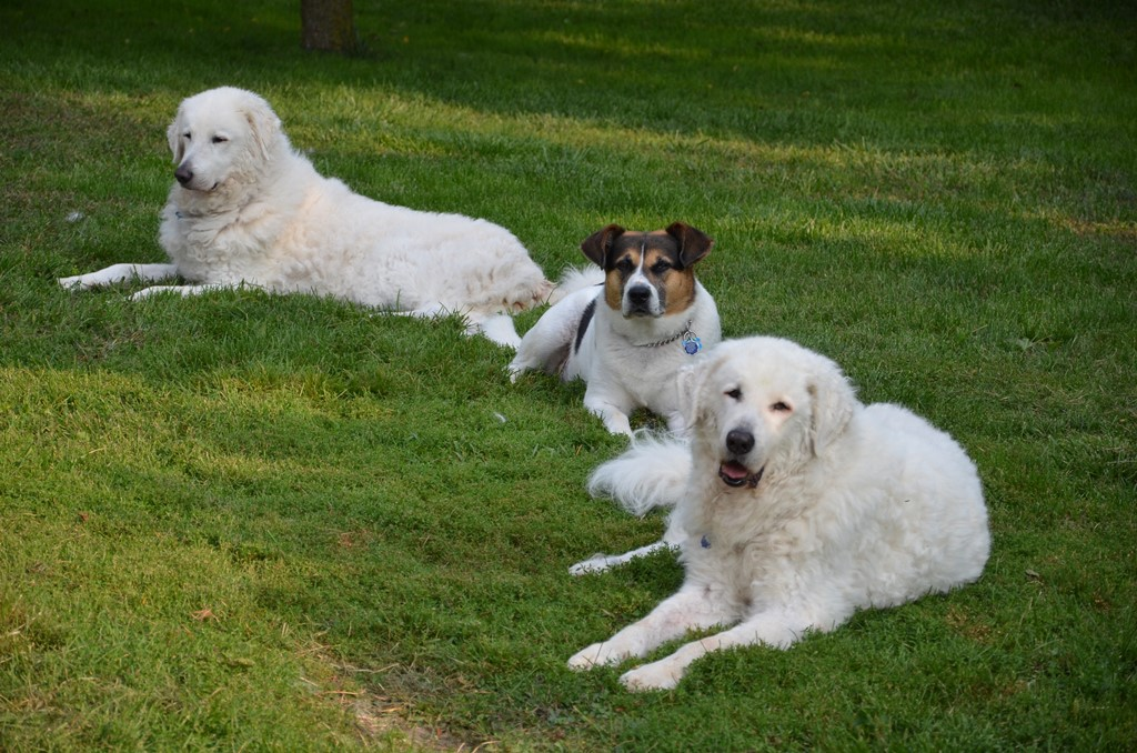 What type of dogs to have if you live in the land of big carnivores